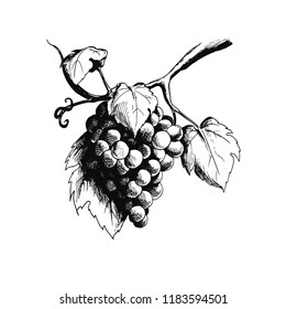 Vector ink drawn branch of grapes. Engraving food illustration for print, menu, vine card, wrapping and other art design in sketch style.  Elements are isolated.