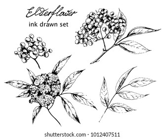 Vector ink drawn set of Elder flower. Botanical hand drawn illustration in vintage style for print, wrapping and other herbal design.