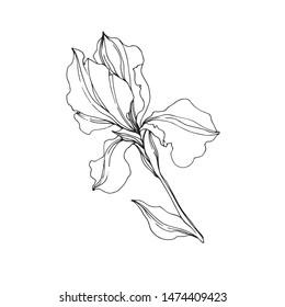 Vector Irises floral botanical flowers. Wild spring leaf wildflower isolated. Black and white engraved ink art. Isolated irises illustration element on white background.