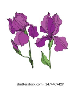 Vector Irises floral botanical flowers. Wild spring leaf wildflower isolated. Purple and green engraved ink art. Isolated irises illustration element on white background.