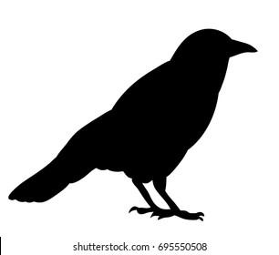 Vector, isolated black silhouette bird, crow