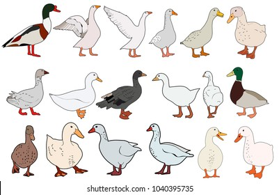 vector, isolated goose, duck, on white background, set
