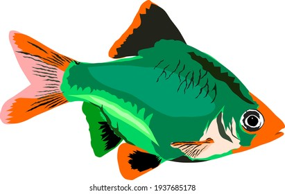 Vector of isolated green tiger barb fish