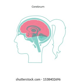 Vector isolated illustration of Cerebrum in woman head. Human brain components detailed anatomy. Medical infographics for poster, educational, science and medical use. Sagittal view of the brain