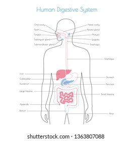 Vector isolated illustration of human digestive system anatomy. Esophagus, stomach, duodenum, pancreas, intestine, gallbladder, liver, pharynx icon. Medical information poster. Internal organ symbol.