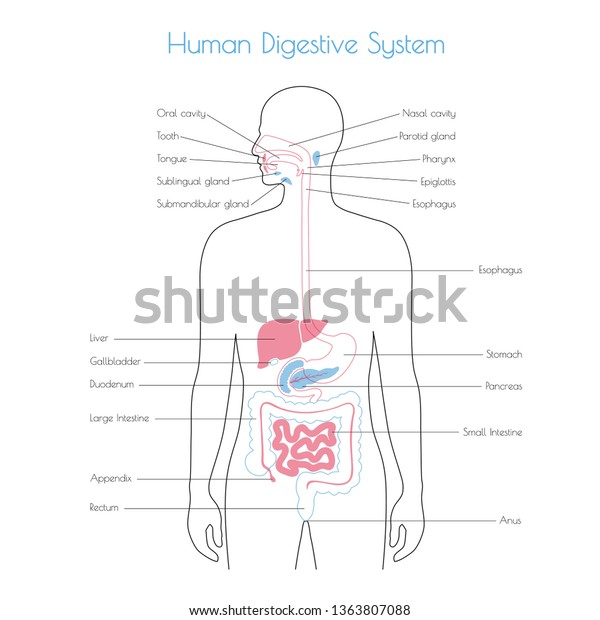 Vector Isolated Illustration Human Digestive System Stock Vector