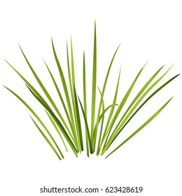 Vector isolated reed. Water plants in different variant, isolated on white background. Isometric clumps of reeds growing on edge of pool and pond. Individual rushes flower bamboo reed with green leafs