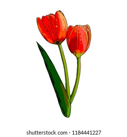 Vector isolated Tulip illustration
