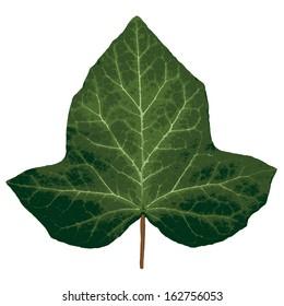 Vector ivy leaf.