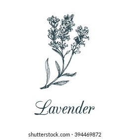 Vector lavender branch illustration. Hand drawn botanical sketch of medicinal plant in engraving style. Organic herb isolated.