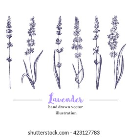 Vector lavender hand drawn illustration.Healing and cosmetics herb.Medical plant. Great for traditional medicine design. Great design for natural and organic products.