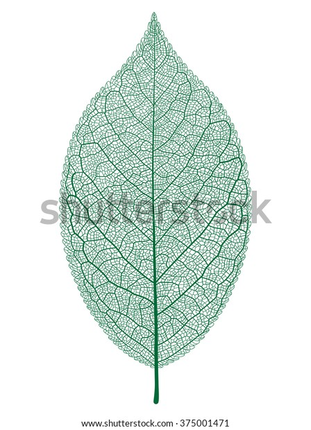 Vector leaf isolated and skeleton.