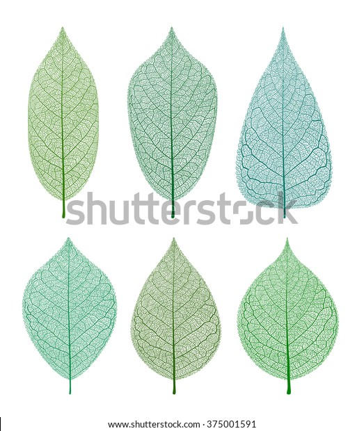 Vector leaves isolated and skeleton.