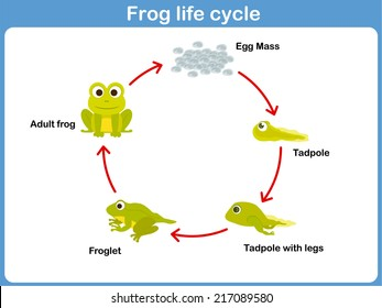 1000 Frog Life Cycle Stock Images Photos Vectors