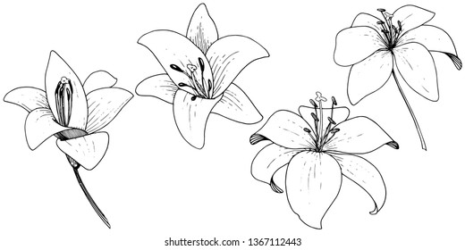Vector Lily floral botanical flower. Wild spring leaf wildflower. Black and white engraved ink art on white background. Isolated lilium illustration element.