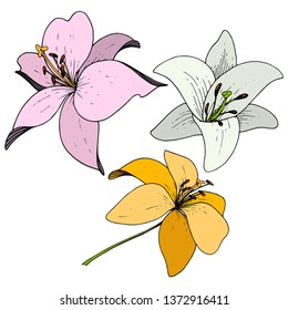 Vector Lily floral botanical flower. Wild spring leaf wildflower. Engraved ink art on white background. Isolated lilium illustration element.