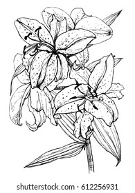 Vector lily flowers bunch. Ink drawing on white background. Lily blooming sketch