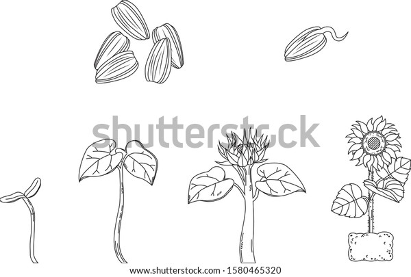 Vector Line Art Science Illustration Sunflower Stock Vector Royalty Free 1580465320