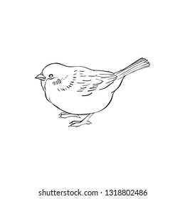 Vector line drawing bird sitting at tree branch, sparrow, hand drawn songbird, isolated nature design element