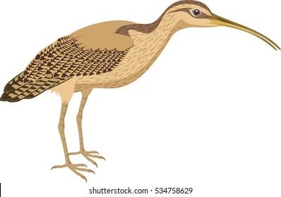 vector Long Billed Curlew
