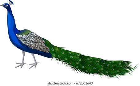 vector male peacock peafowl
