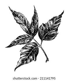 Vector maple leaf. Ash-leaf Maple. Black engraving