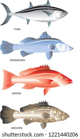 Vector - Marine Fish That live In Demersal Ocean, Tuna, Barramundi, Snapper And Grouper