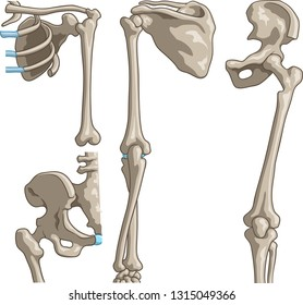 Vector medical illustration of Human bones such as pelvis, rib cage, joints and shoulder blade.