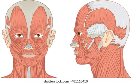 Neck Muscles Images Stock Photos Vectors Shutterstock