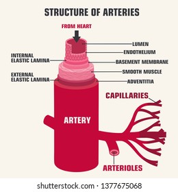 Vector medical structure artery icon. Human artery in the context of the description. Artery anatomy illustration in flat minimalism line style.