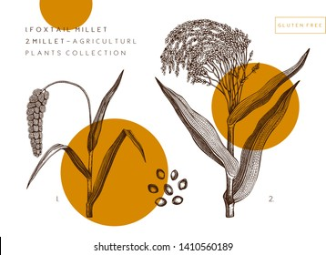Vector Millet and Foxtail Millet illustrations set. Hand drawn agricultural cereals sketch with seeds and grains. Botanical drawing of gluten free plants. Healthy food collection. Vintage design