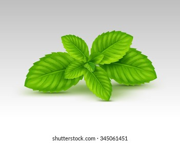 Vector Mint Spearmint Peppermint Leaf Leaves Set Isolated on White Background