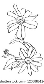 vector monochrome linear illustration flower echinacea