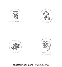Vector monochrome set design templates and emblems - healthy herbs and spices. Different medicinal, cosmetic plants- calendula, dandelion,valeriana and feverfew. Logos in trendy linear style