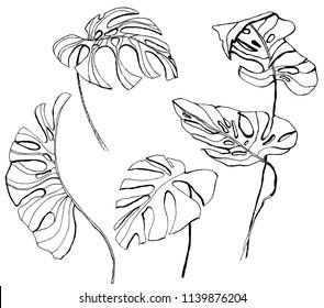 vector monstera leaves illustration. hand drawn.