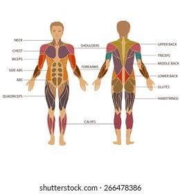 vector muscular human body, muscle man anatomy,