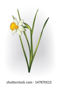 vector narcissus flower