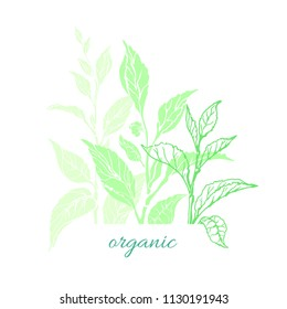Vector nature card of tea tree, bush, leaves, flower. Organic medicina drink, aroma beverage, vegan food, herbal plant, simple template on white background. Green illustration, fresh print, bio plant