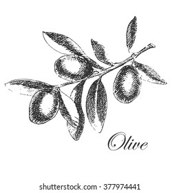 vector olive branch sketch drawing
