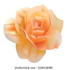 Vector orange rose