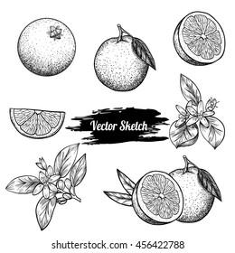 Vector oranges hand drawn sketch. Sketch vector  food illustration. Vintage style - Shutterstock ID 456422788