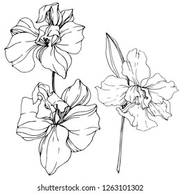 Vector. Orchid flower. Floral botanical flower. Wild spring leaf wildflower isolated. Black and white engraved ink art. Isolated orchid illustration element on white background.
