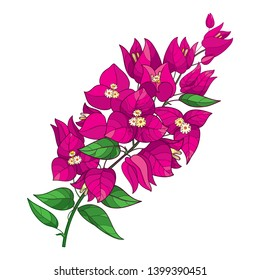 Vector outline Bougainvillea or Buganvilla flower bunch with bud in pink and green leaf isolated on white background. Tropical ornate Bougainvillea branch in contour style for summer design.