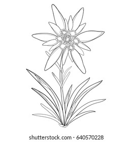 Vector outline Edelweiss or Leontopodium alpinum. Flower and leaves isolated on white background. Symbol of Alp Mountains in contour style. Alpine mountain flower for summer design and coloring book.
