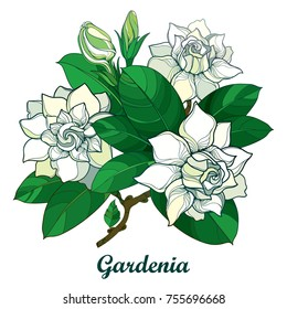 Vector outline Gardenia flower bouquet, bud and ornate green leaves isolated on white background. Branch with tropical fragrant plant Gardenia in contour style for summer design.