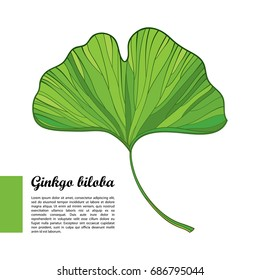 Vector outline green leaf of Gingko or Ginkgo biloba tree isolated on white background. Gymnosperms relict plant in contour style for exotic summer design.