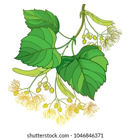 Vector outline Linden or Tilia or Basswood flower bunch, bract, fruit and ornate green leaf isolated on white background. Linden flower branch in contour style for summer design.