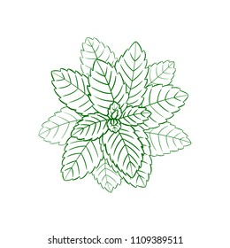 Vector Outline Mint, Engraving Green Lines, Ilustration Isolated on White Background.