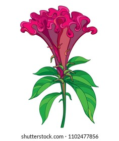 Vector outline red Celosia crisrtata or Cockscomb flower and ornate green leaves isolated on white background. Annual flowering ornamental plant in contour style for summer design.