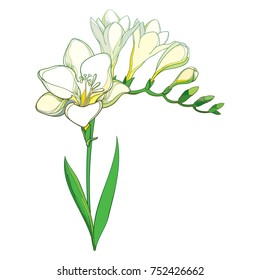 Vector outline white Freesia flower bunch with bud and green leaves isolated on white background. Perennial fragrant plant Freesia in contour style for summer design or greeting decor.